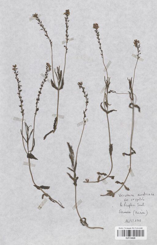 https://bibliotheque-virtuelle.bu.uca.fr/files/fichiers_bcu/Scrophulariaceae_Veronica_austriaca_CLF114528.jpg