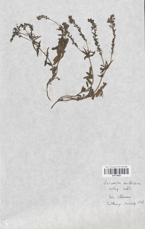 https://bibliotheque-virtuelle.bu.uca.fr/files/fichiers_bcu/Scrophulariaceae_Veronica_austriaca_vahli_CLF114522.jpg