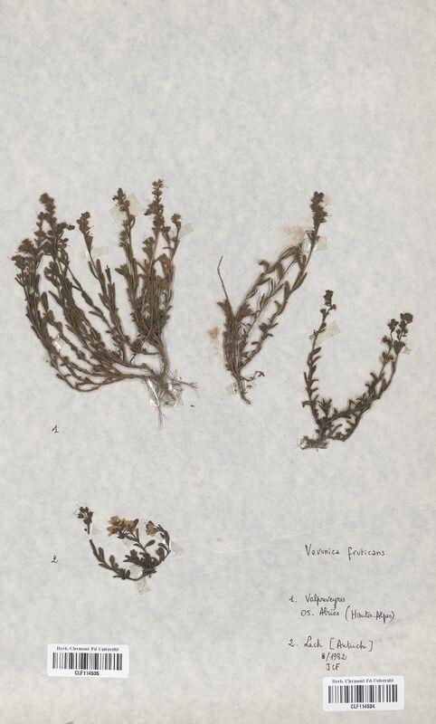 https://bibliotheque-virtuelle.bu.uca.fr/files/fichiers_bcu/Scrophulariaceae_Veronica_fruticans_CLF114534.jpg
