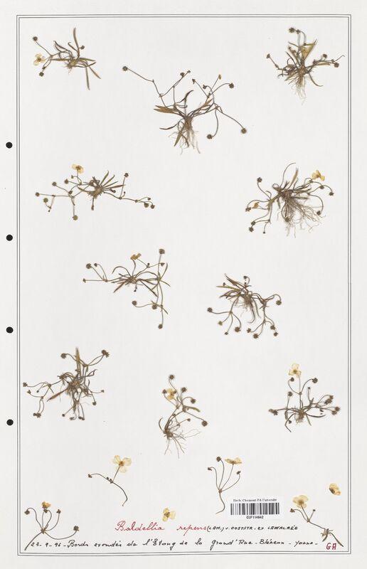 https://bibliotheque-virtuelle.bu.uca.fr/files/fichiers_bcu/Alismataceae_Baldellia_repens_CLF114642.jpg