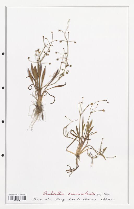 https://bibliotheque-virtuelle.bu.uca.fr/files/fichiers_bcu/Alismataceae_Baldellia_ranunculoides_CLF114640.jpg