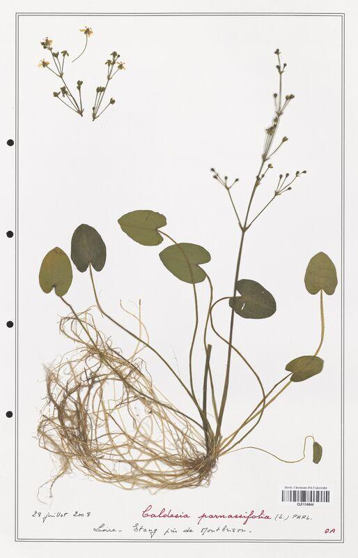 https://bibliotheque-virtuelle.bu.uca.fr/files/fichiers_bcu/Alismataceae_Caldesia_parnassifolia_CLF114644.jpg
