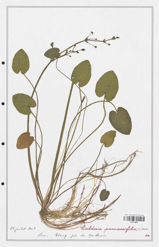 https://bibliotheque-virtuelle.bu.uca.fr/files/fichiers_bcu/Alismataceae_Caldesia_parnassifolia_CLF114643.jpg