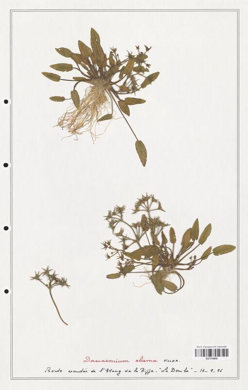 https://bibliotheque-virtuelle.bu.uca.fr/files/fichiers_bcu/Alismataceae_Damasonium_alisma_CLF114645.jpg