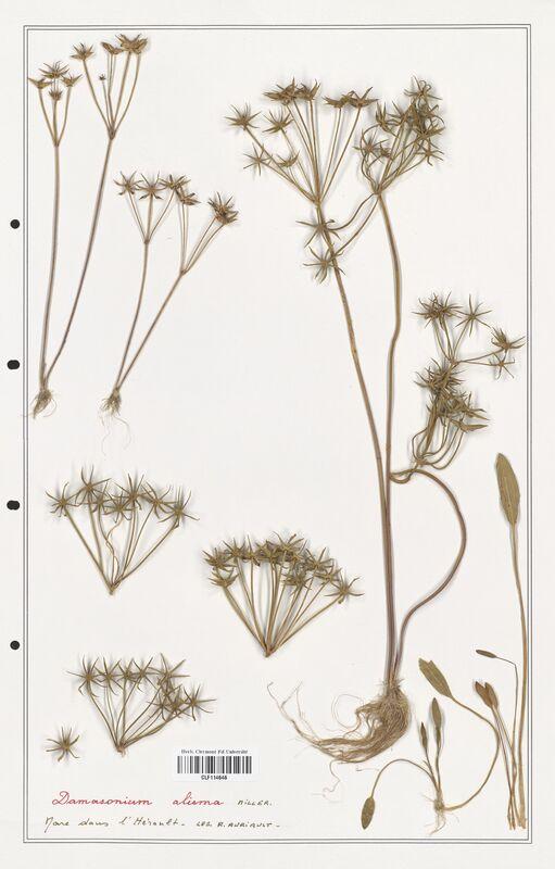https://bibliotheque-virtuelle.bu.uca.fr/files/fichiers_bcu/Alismataceae_Damasonium_alisma_CLF114646.jpg