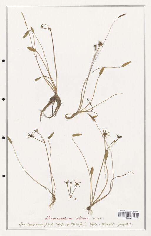 https://bibliotheque-virtuelle.bu.uca.fr/files/fichiers_bcu/Alismataceae_Damasonium_alisma_CLF114647.jpg