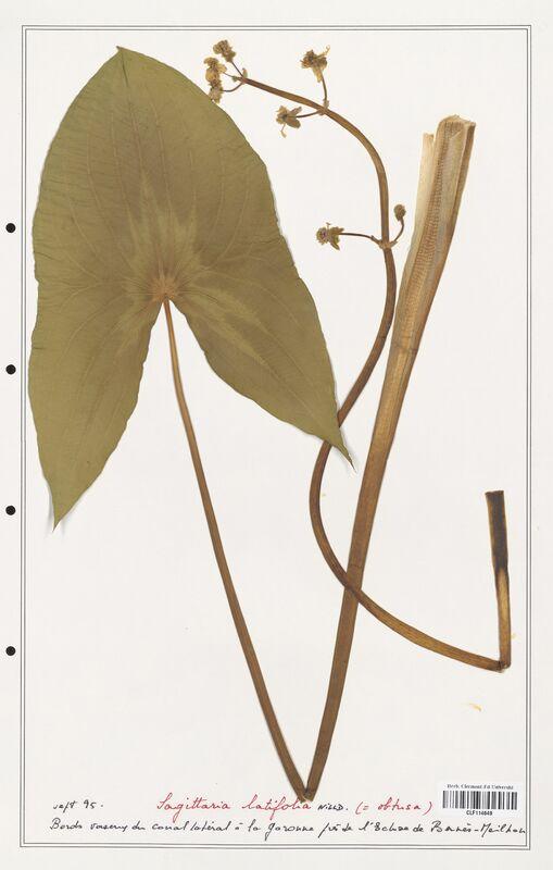 https://bibliotheque-virtuelle.bu.uca.fr/files/fichiers_bcu/Alismataceae_Sagittaria_latifolia_CLF114649.jpg