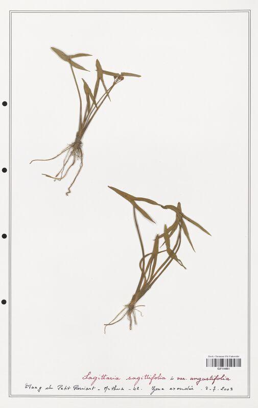 https://bibliotheque-virtuelle.bu.uca.fr/files/fichiers_bcu/Alismataceae_Sagittaria_sagittifolia_CLF114651.jpg