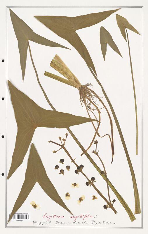 https://bibliotheque-virtuelle.bu.uca.fr/files/fichiers_bcu/Alismataceae_Sagittaria_sagittifolia_CLF114652.jpg
