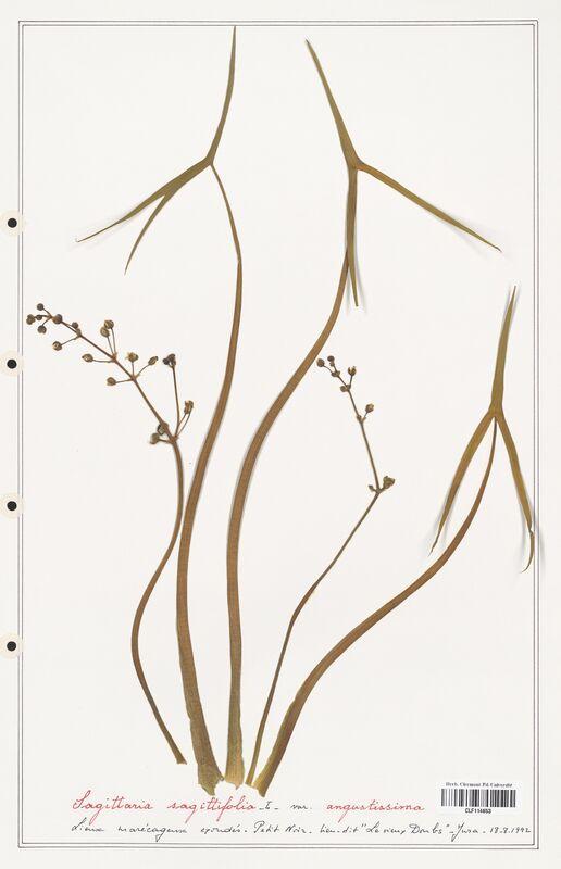 https://bibliotheque-virtuelle.bu.uca.fr/files/fichiers_bcu/Alismataceae_Sagittaria_sagittifolia_CLF114653.jpg
