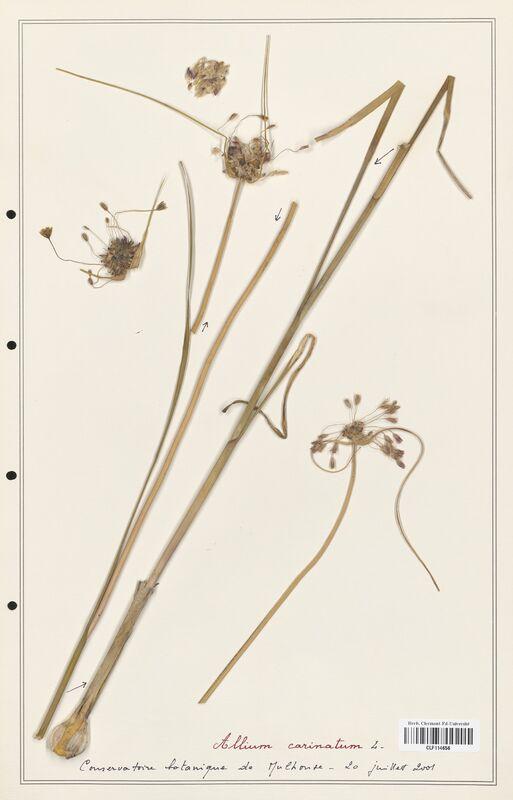 https://bibliotheque-virtuelle.bu.uca.fr/files/fichiers_bcu/Alliacees_Allium_carinatum_CLF114656.jpg