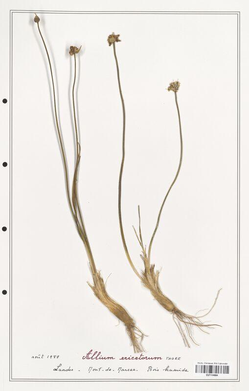 https://bibliotheque-virtuelle.bu.uca.fr/files/fichiers_bcu/Alliacees_Allium_ericetorum_CLF114664.jpg