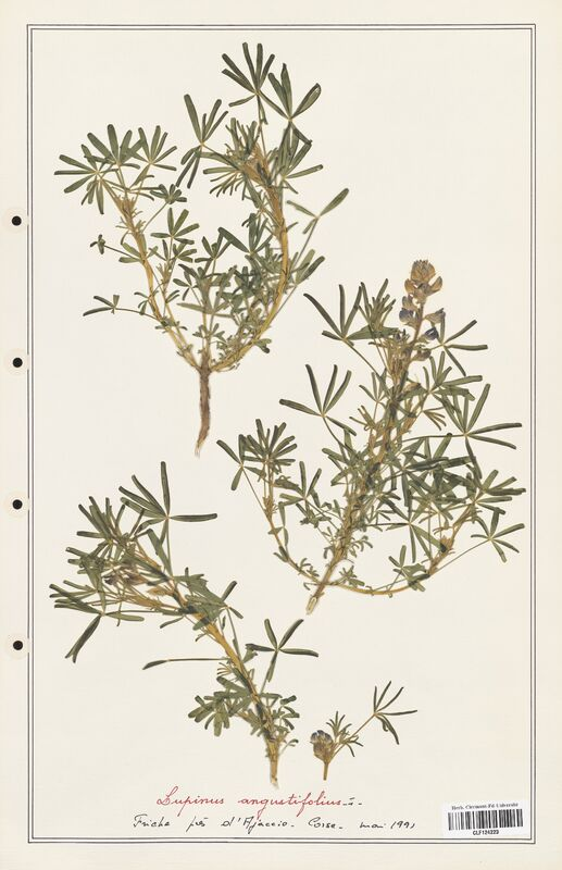 https://bibliotheque-virtuelle.bu.uca.fr/files/fichiers_bcu/Fabaceae_Lupinus_angustifolius_CLF124223.jpg