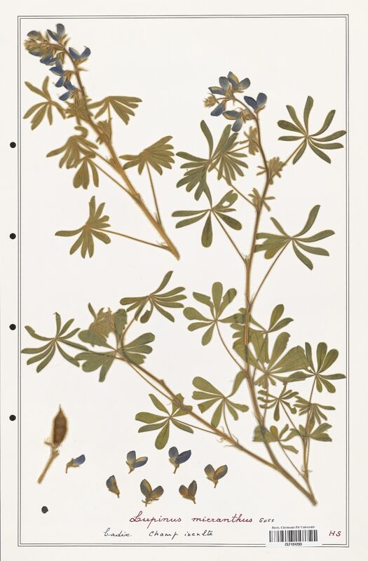https://bibliotheque-virtuelle.bu.uca.fr/files/fichiers_bcu/Fabaceae_Lupinus_micranthus_CLF124233.jpg