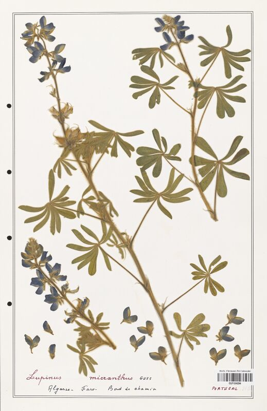 https://bibliotheque-virtuelle.bu.uca.fr/files/fichiers_bcu/Fabaceae_Lupinus_micranthus_CLF124234.jpg