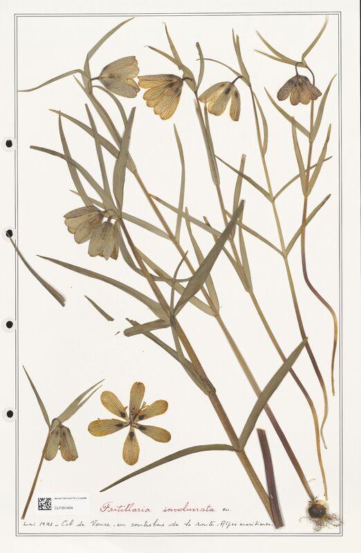 https://bibliotheque-virtuelle.bu.uca.fr/files/fichiers_bcu/Liliaceae_Fritillaria_involucrata_CLF301404.jpg