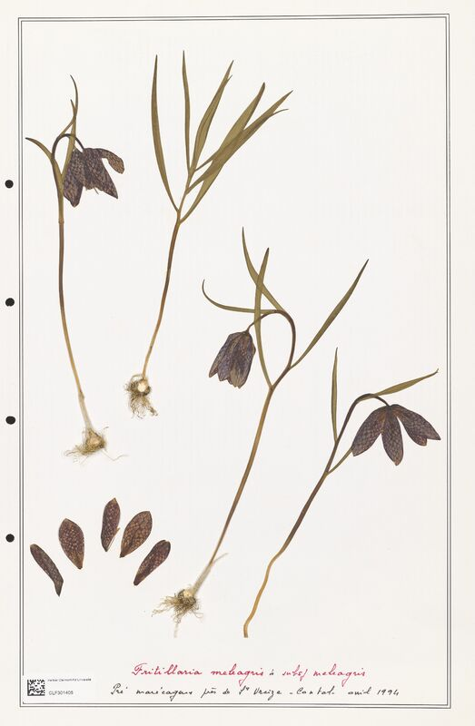 https://bibliotheque-virtuelle.bu.uca.fr/files/fichiers_bcu/Liliaceae_Fritillaria_meleagris_CLF301405.jpg
