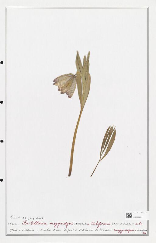 https://bibliotheque-virtuelle.bu.uca.fr/files/fichiers_bcu/Liliaceae_Fritillaria_moggridgeri_CLF301406.jpg