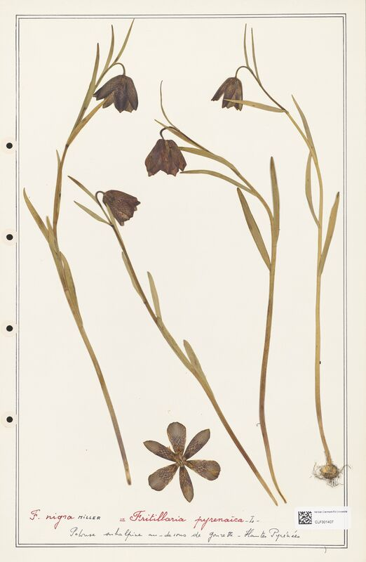 https://bibliotheque-virtuelle.bu.uca.fr/files/fichiers_bcu/Liliaceae_Fritillaria_pyrenaica_CLF301407.jpg