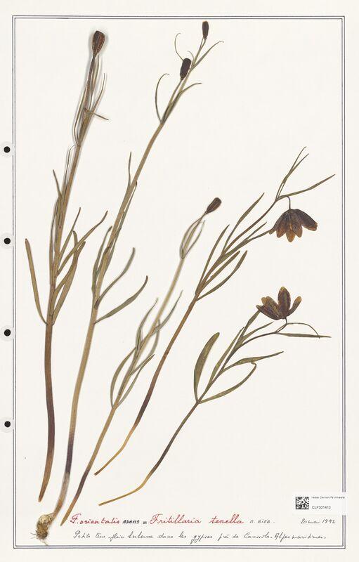 https://bibliotheque-virtuelle.bu.uca.fr/files/fichiers_bcu/Liliaceae_Fritillaria_tenella_CLF301410.jpg