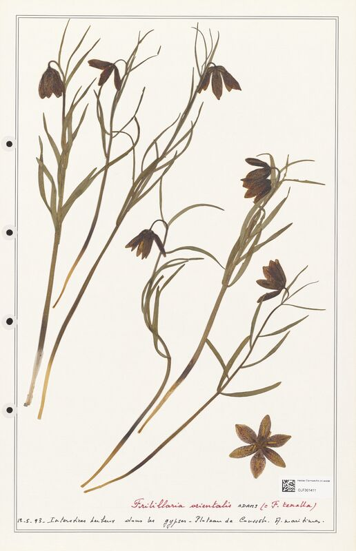 https://bibliotheque-virtuelle.bu.uca.fr/files/fichiers_bcu/Liliaceae_Fritillaria_orientalis_CLF301411.jpg