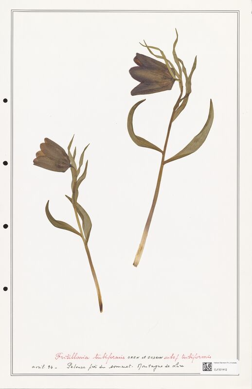 https://bibliotheque-virtuelle.bu.uca.fr/files/fichiers_bcu/Liliaceae_Fritillaria_tubiformis_CLF301412.jpg