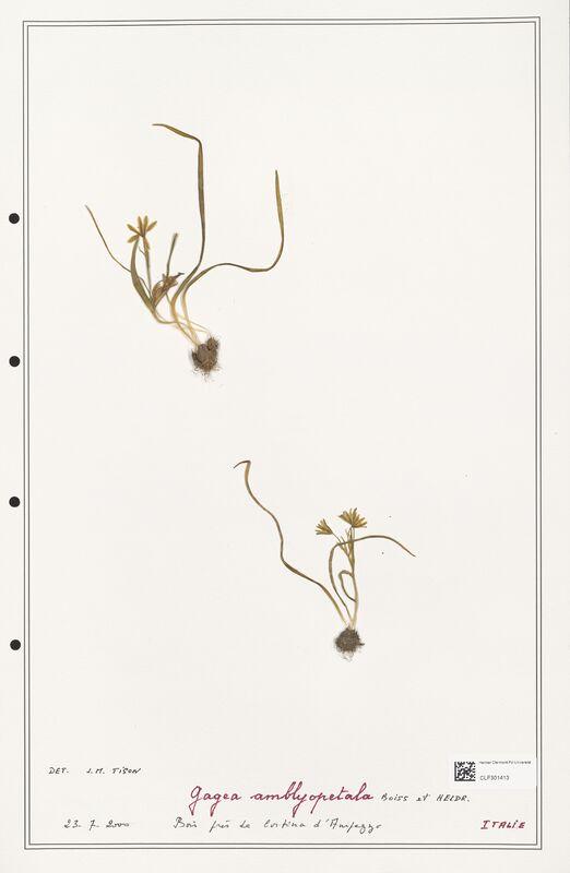 https://bibliotheque-virtuelle.bu.uca.fr/files/fichiers_bcu/Liliaceae_Gagea_amblyopetala_CLF301413.jpg