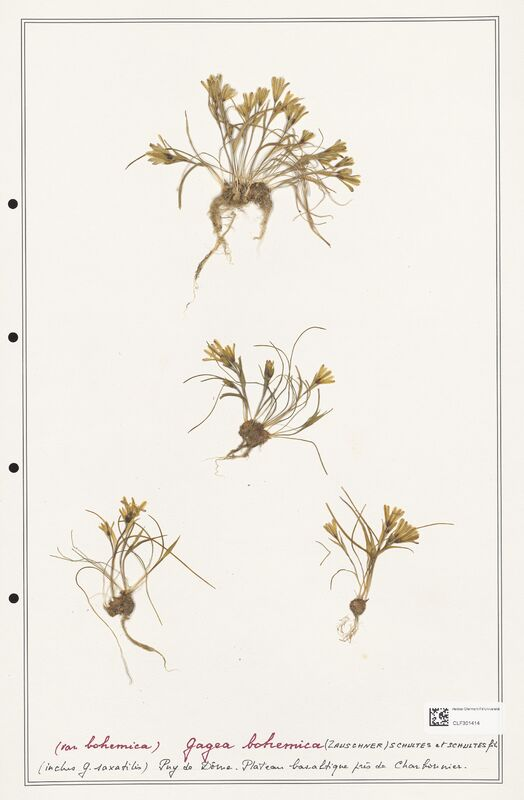 https://bibliotheque-virtuelle.bu.uca.fr/files/fichiers_bcu/Liliaceae_Gagea_bohemica_CLF301414.jpg