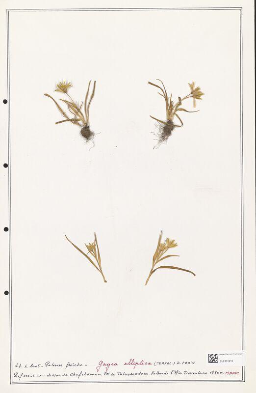 https://bibliotheque-virtuelle.bu.uca.fr/files/fichiers_bcu/Liliaceae_Gagea_elliptica_CLF301415.jpg