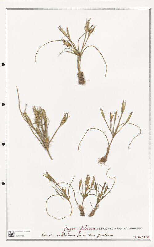 https://bibliotheque-virtuelle.bu.uca.fr/files/fichiers_bcu/Liliaceae_Gagea_fibrosa_CLF301416.jpg
