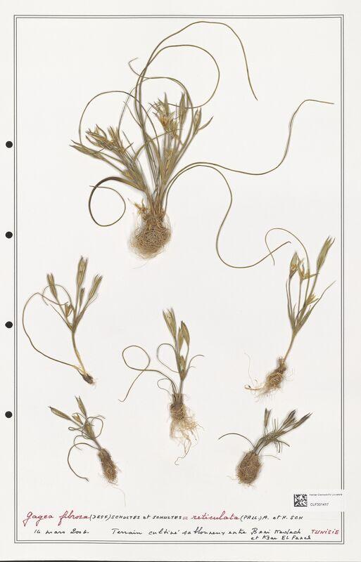 https://bibliotheque-virtuelle.bu.uca.fr/files/fichiers_bcu/Liliaceae_Gagea_fibrosa_CLF301417.jpg