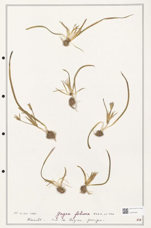 https://bibliotheque-virtuelle.bu.uca.fr/files/fichiers_bcu/Liliaceae_Gagea_foliosa_CLF301419.jpg