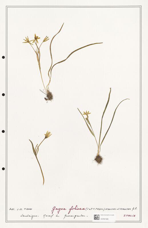 https://bibliotheque-virtuelle.bu.uca.fr/files/fichiers_bcu/Liliaceae_Gagea_foliosa_CLF301420.jpg