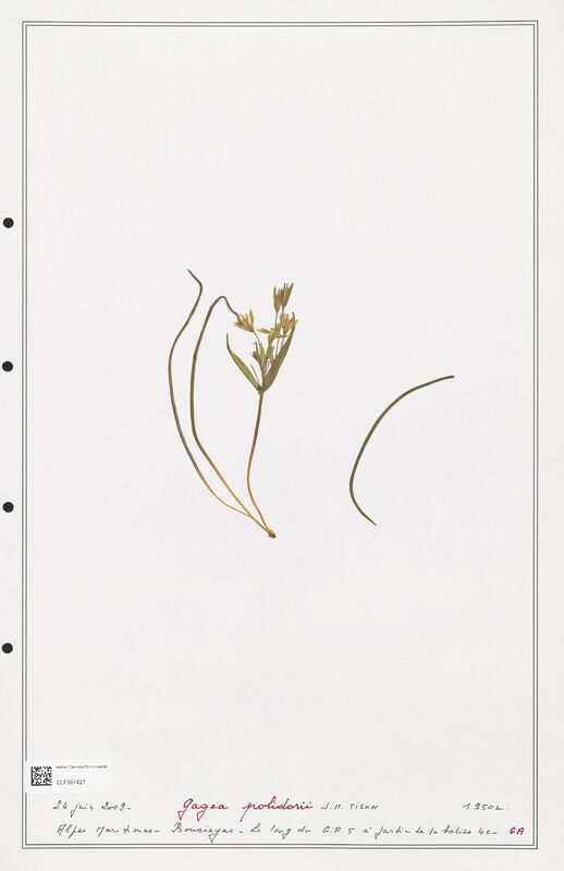 https://bibliotheque-virtuelle.bu.uca.fr/files/fichiers_bcu/Liliaceae_Gagea_polidorii_CLF301427.jpg
