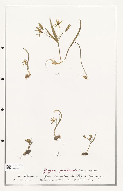 https://bibliotheque-virtuelle.bu.uca.fr/files/fichiers_bcu/Liliaceae_Gagea_pratensis_CLF301430.jpg