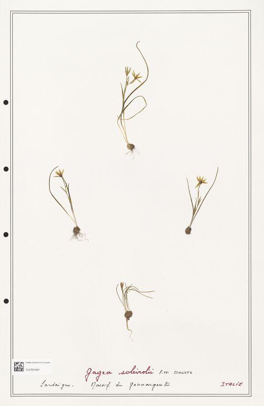 https://bibliotheque-virtuelle.bu.uca.fr/files/fichiers_bcu/Liliaceae_Gagea_soleirolii_CLF301431.jpg