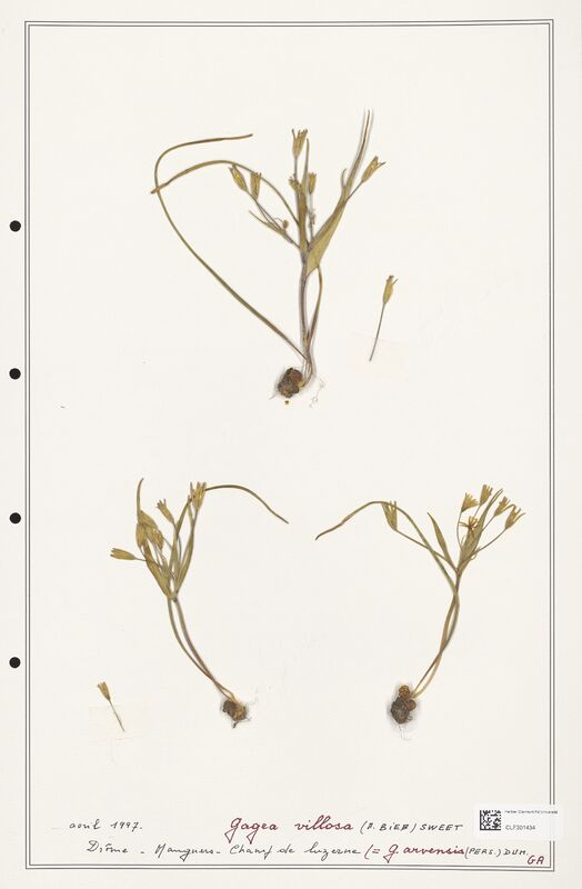 https://bibliotheque-virtuelle.bu.uca.fr/files/fichiers_bcu/Liliaceae_Gagea_villosa_CLF301434.jpg