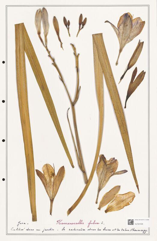 https://bibliotheque-virtuelle.bu.uca.fr/files/fichiers_bcu/Liliaceae_Hemerocallis_fulva_CLF301435.jpg
