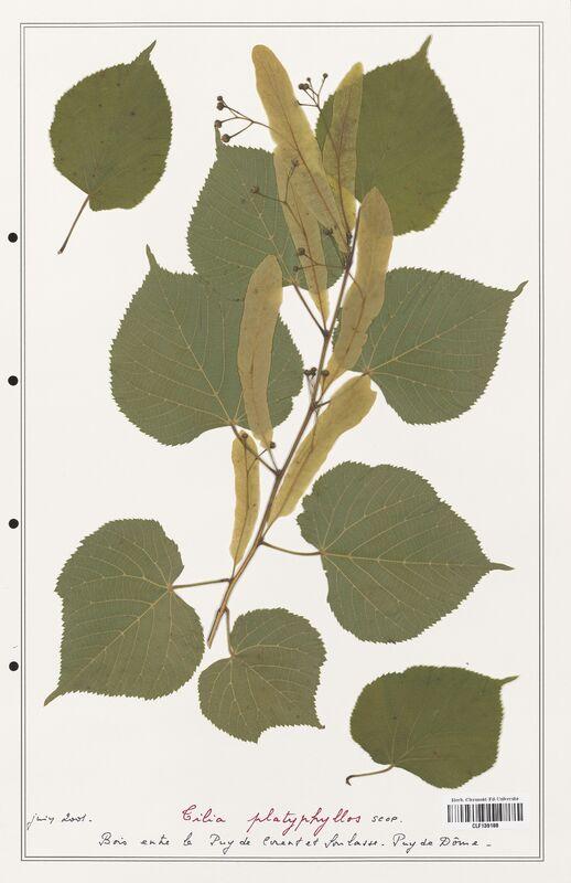 https://bibliotheque-virtuelle.bu.uca.fr/files/fichiers_bcu/Malvaceae_Tilia_platyphyllos_CLF139188.jpg