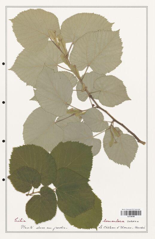 https://bibliotheque-virtuelle.bu.uca.fr/files/fichiers_bcu/Malvaceae_Tilia_tomentosa_CLF139189.jpg