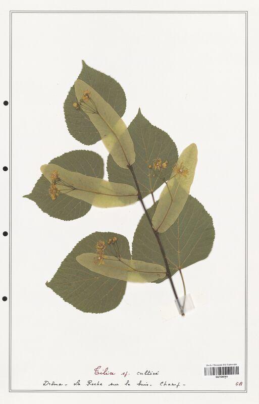 https://bibliotheque-virtuelle.bu.uca.fr/files/fichiers_bcu/Malvaceae_Tilia_sp_CLF139191.jpg