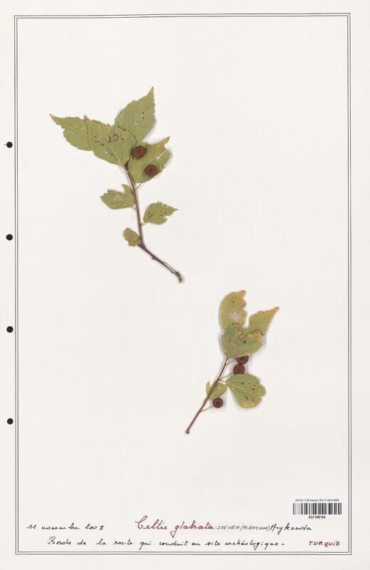 https://bibliotheque-virtuelle.bu.uca.fr/files/fichiers_bcu/Cannabaceae_Celtis_glabrata_CLF139194.jpg