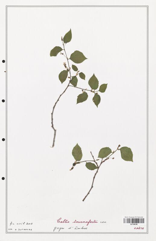 https://bibliotheque-virtuelle.bu.uca.fr/files/fichiers_bcu/Cannabaceae_Celtis_tournefortii_CLF139195.jpg