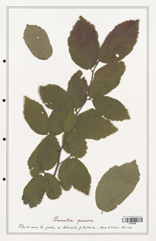 https://bibliotheque-virtuelle.bu.uca.fr/files/fichiers_bcu/Hamamelidaceae_Parrotia_perssica_CLF139196.jpg