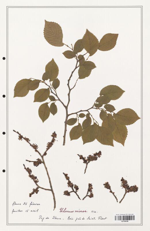 https://bibliotheque-virtuelle.bu.uca.fr/files/fichiers_bcu/Ulmaceae_Ulmus_minor_CLF139199.jpg