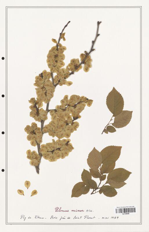 https://bibliotheque-virtuelle.bu.uca.fr/files/fichiers_bcu/Ulmaceae_Ulmus_minor_CLF139200.jpg