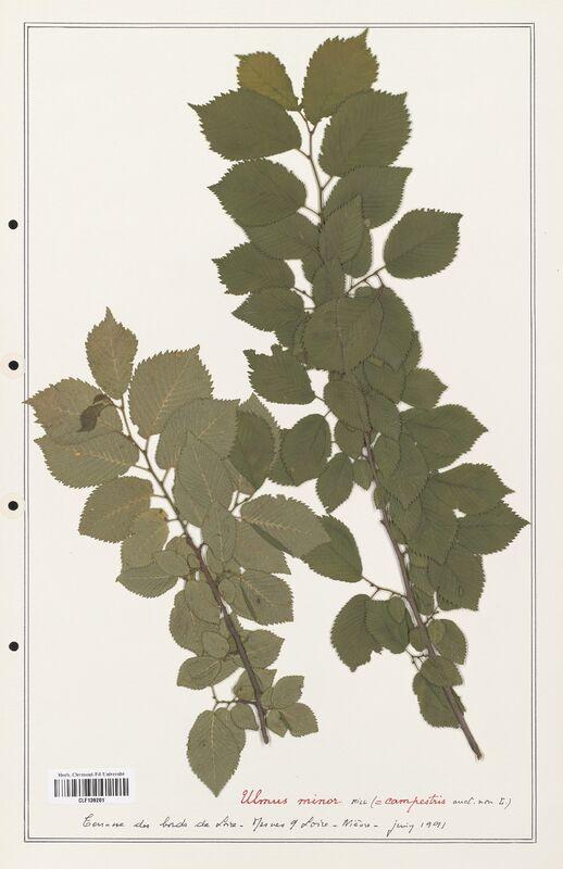 https://bibliotheque-virtuelle.bu.uca.fr/files/fichiers_bcu/Ulmaceae_Ulmus_minor_CLF139201.jpg
