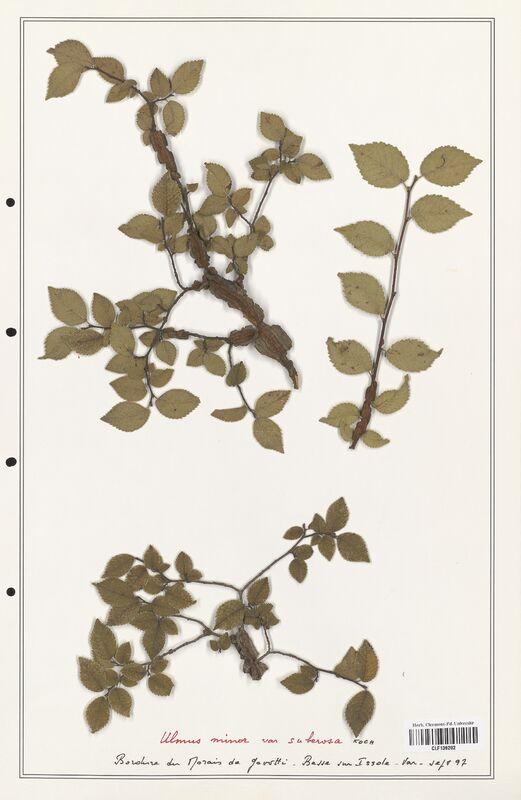 https://bibliotheque-virtuelle.bu.uca.fr/files/fichiers_bcu/Ulmaceae_Ulmus_minor_CLF139202.jpg