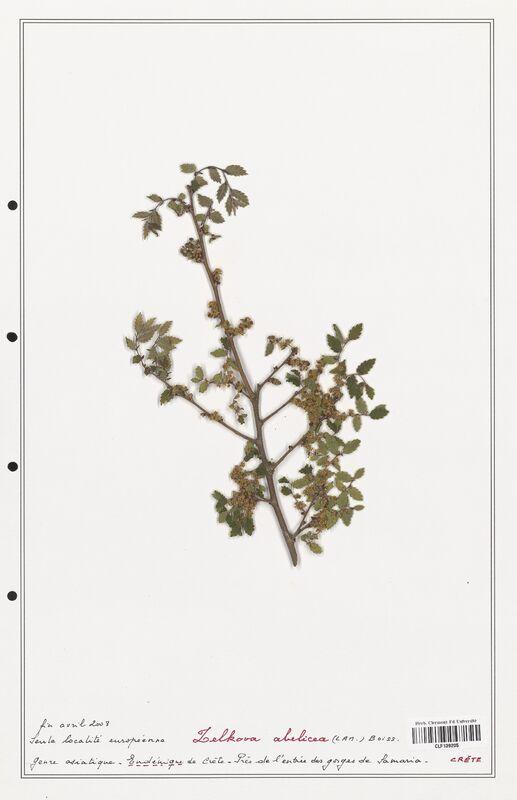https://bibliotheque-virtuelle.bu.uca.fr/files/fichiers_bcu/Ulmaceae_Zelkova_abelicea_CLF139205.jpg