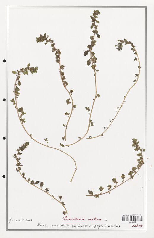 https://bibliotheque-virtuelle.bu.uca.fr/files/fichiers_bcu/Urticaceae_Parietaria_cretica_CLF139208.jpg